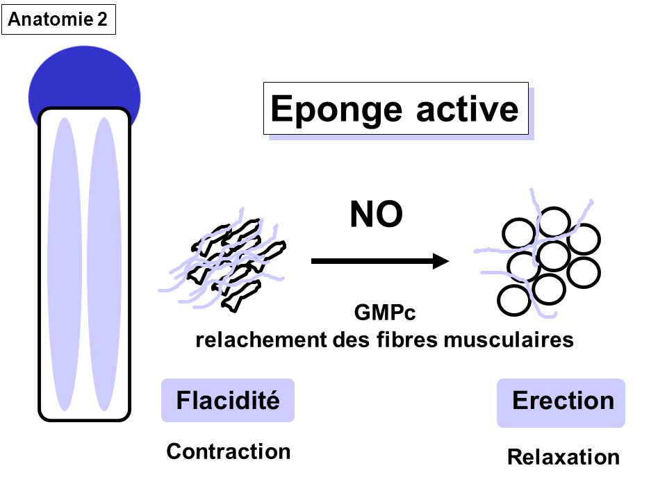 relachement des fibres musculaires