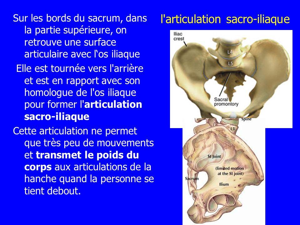 l articulation sacro-iliaque