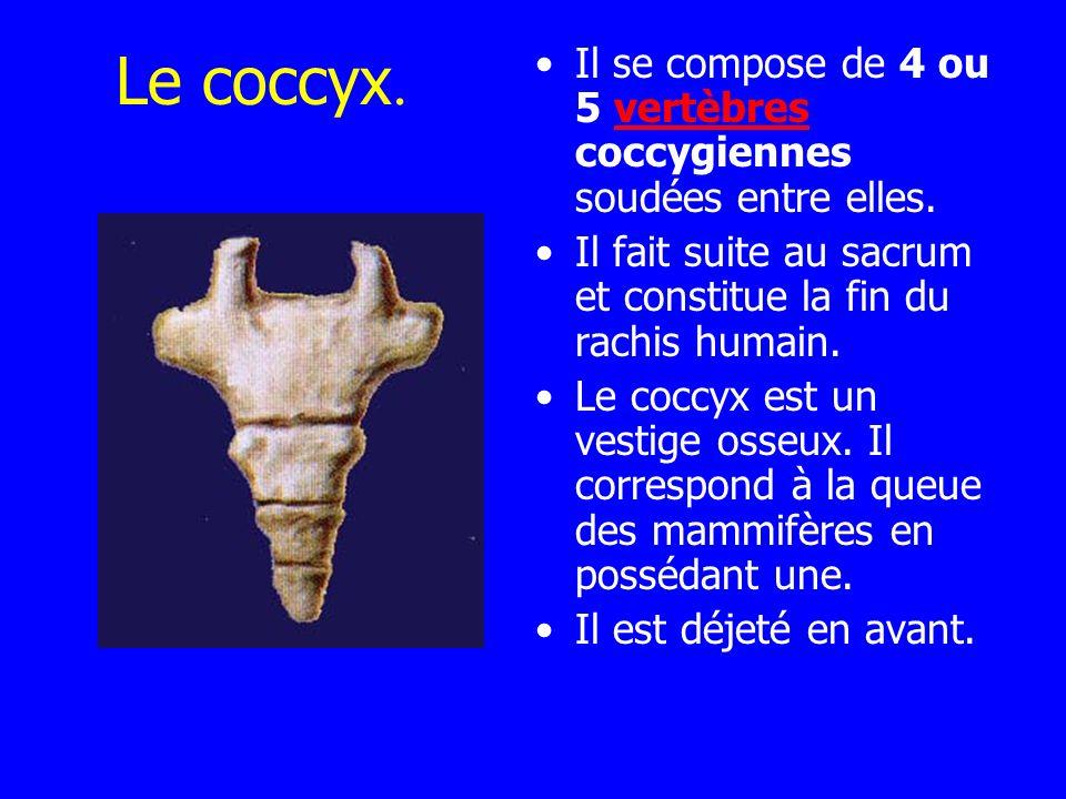 Le coccyx. Il se compose de 4 ou 5 vertèbres coccygiennes soudées entre elles. Il fait suite au sacrum et constitue la fin du rachis humain.