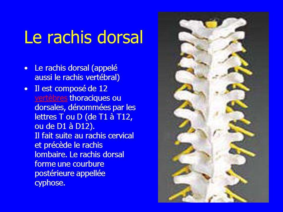 Le rachis dorsal Le rachis dorsal (appelé aussi le rachis vertébral)