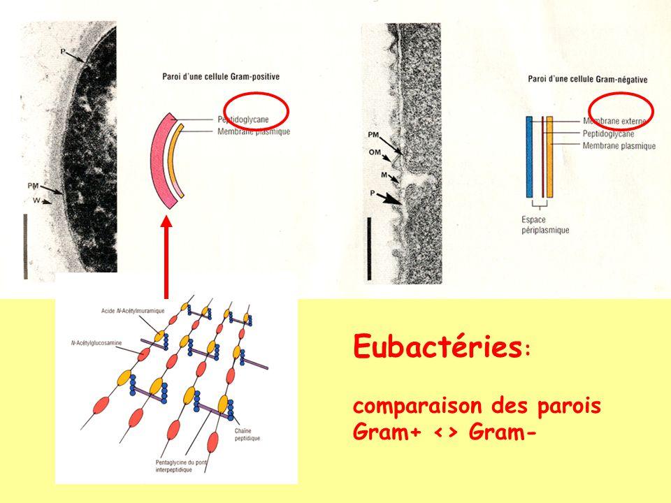 Eubactéries: comparaison des parois Gram+ <> Gram-