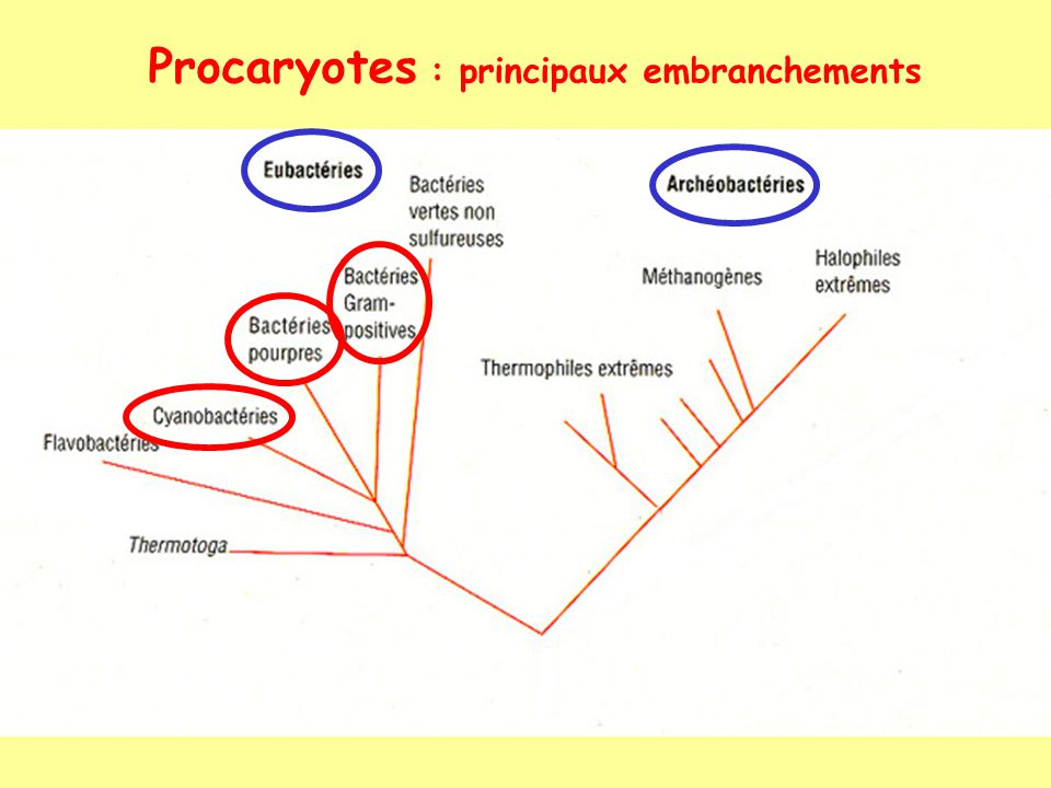 Procaryotes : principaux embranchements