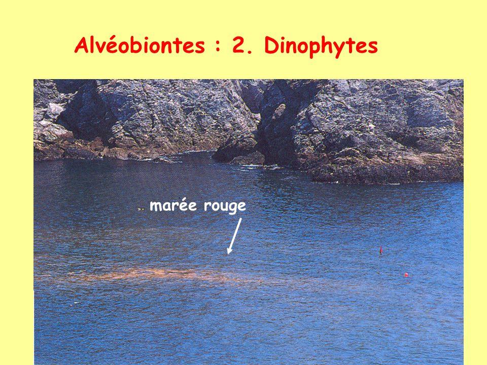 Alvéobiontes : 2. Dinophytes