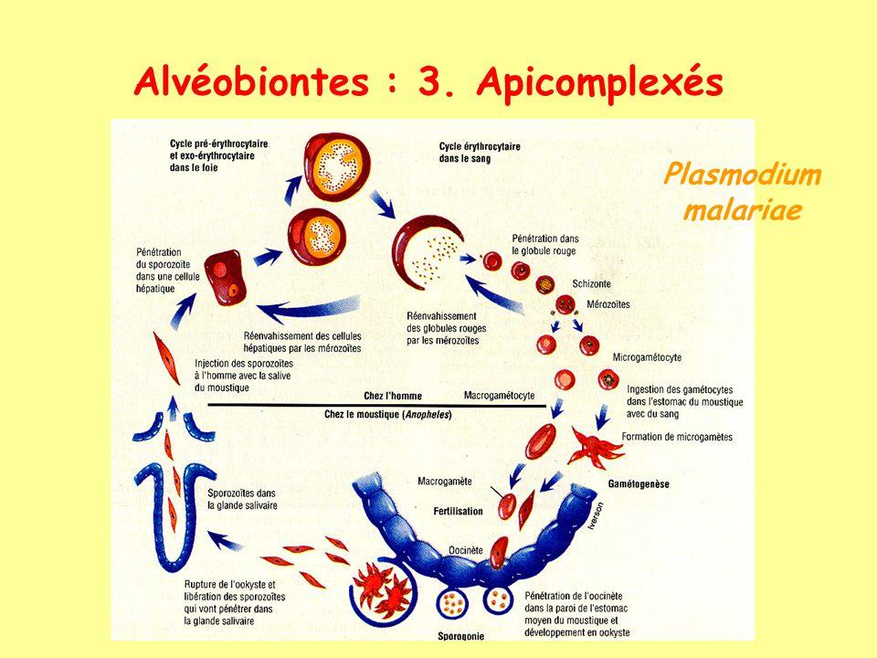 Alvéobiontes : 3. Apicomplexés