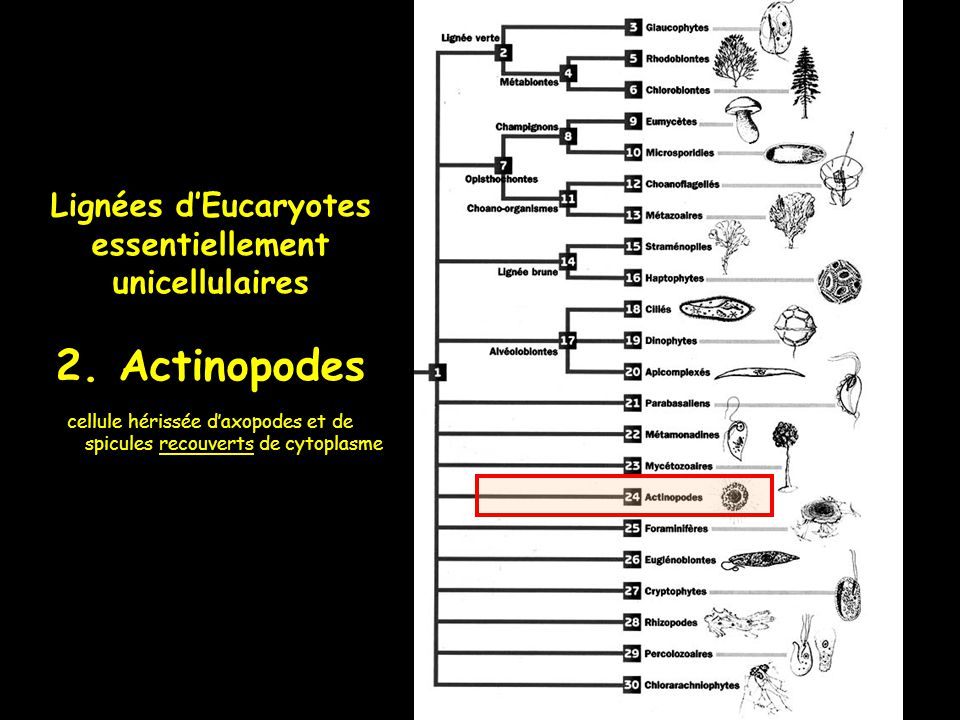 cellule hérissée d'axopodes et de spicules recouverts de cytoplasme