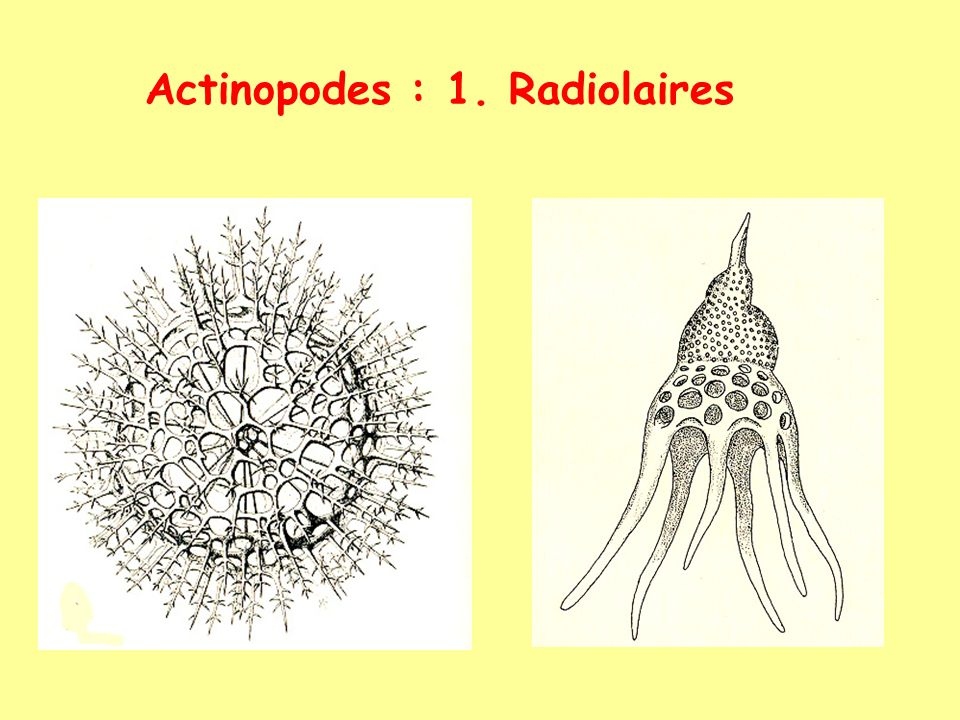 Actinopodes : 1. Radiolaires