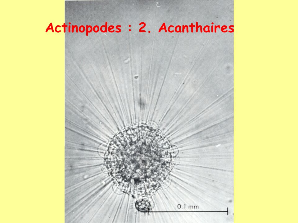 Actinopodes : 2. Acanthaires