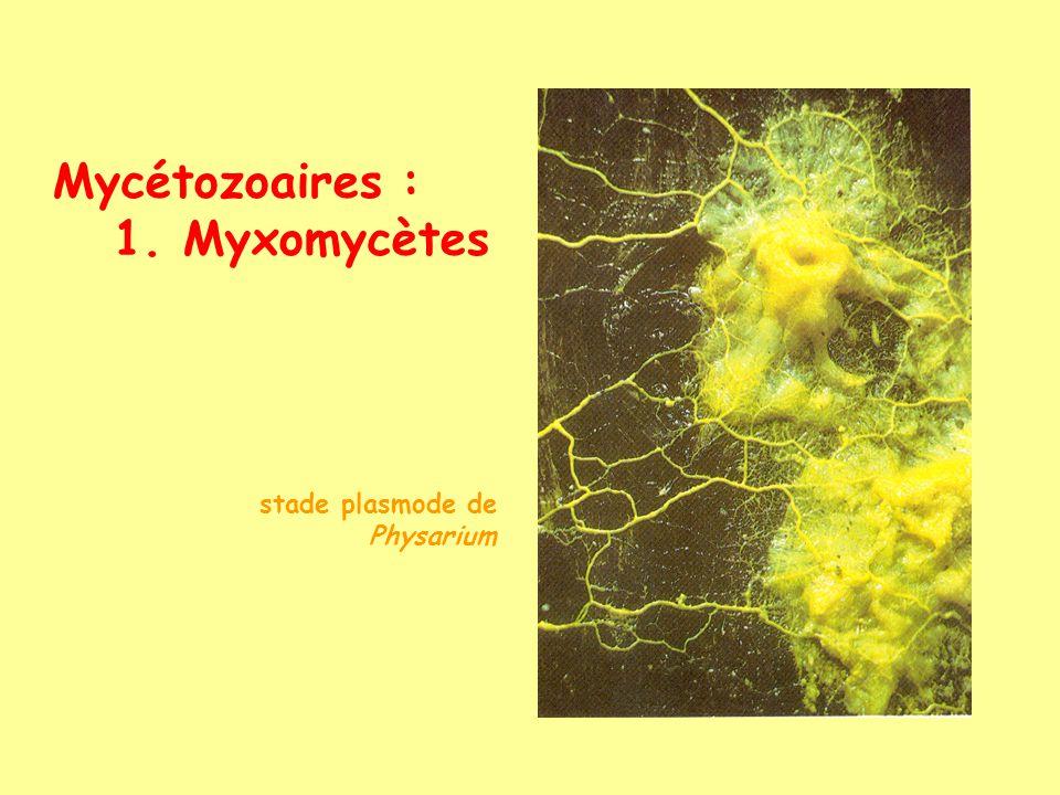 Mycétozoaires : 1. Myxomycètes stade plasmode de Physarium