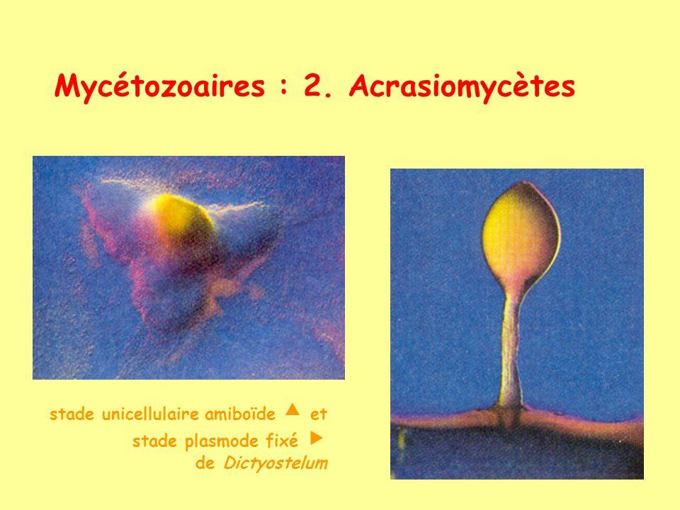 Mycétozoaires : 2. Acrasiomycètes