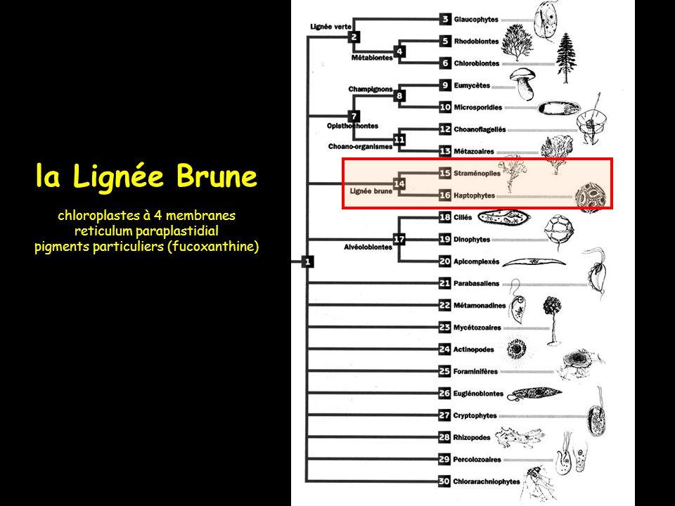 la Lignée Brune chloroplastes à 4 membranes reticulum paraplastidial