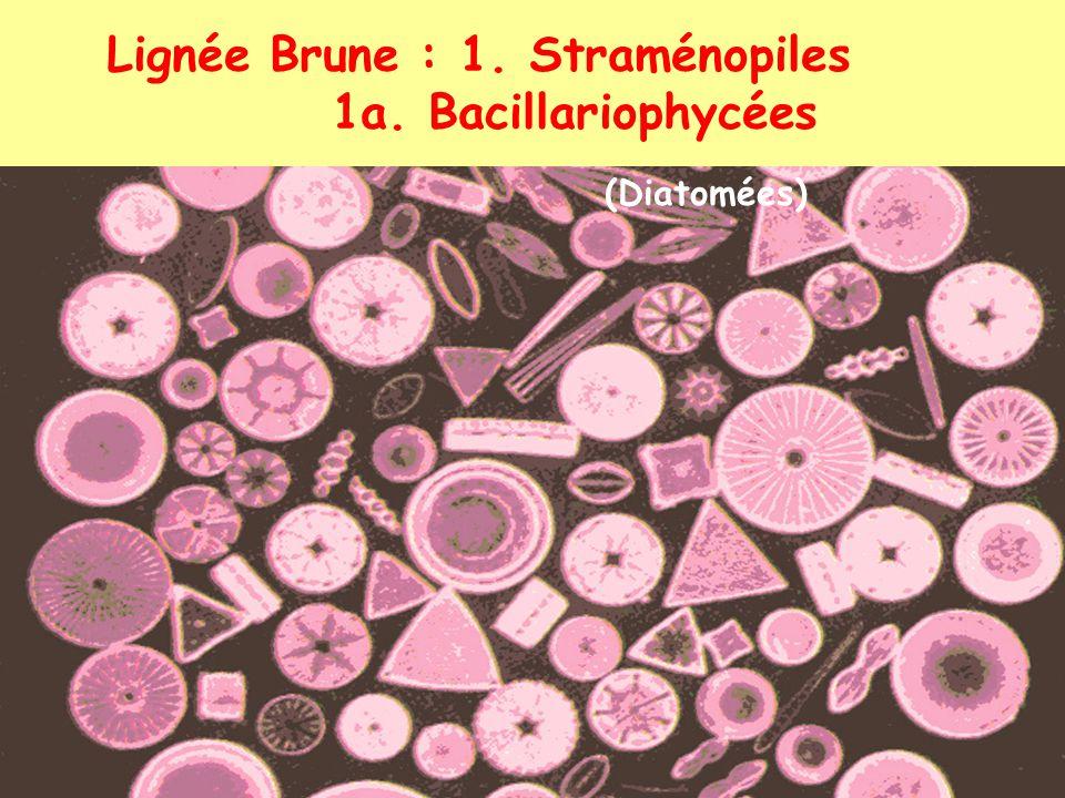Lignée Brune : 1. Straménopiles 1a. Bacillariophycées