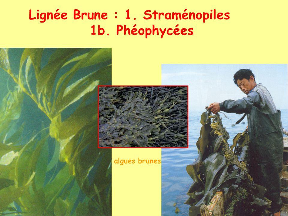 Lignée Brune : 1. Straménopiles 1b. Phéophycées