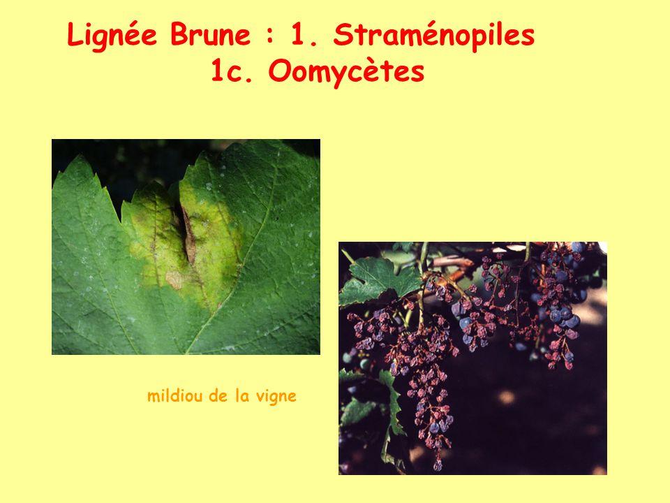 Lignée Brune : 1. Straménopiles 1c. Oomycètes
