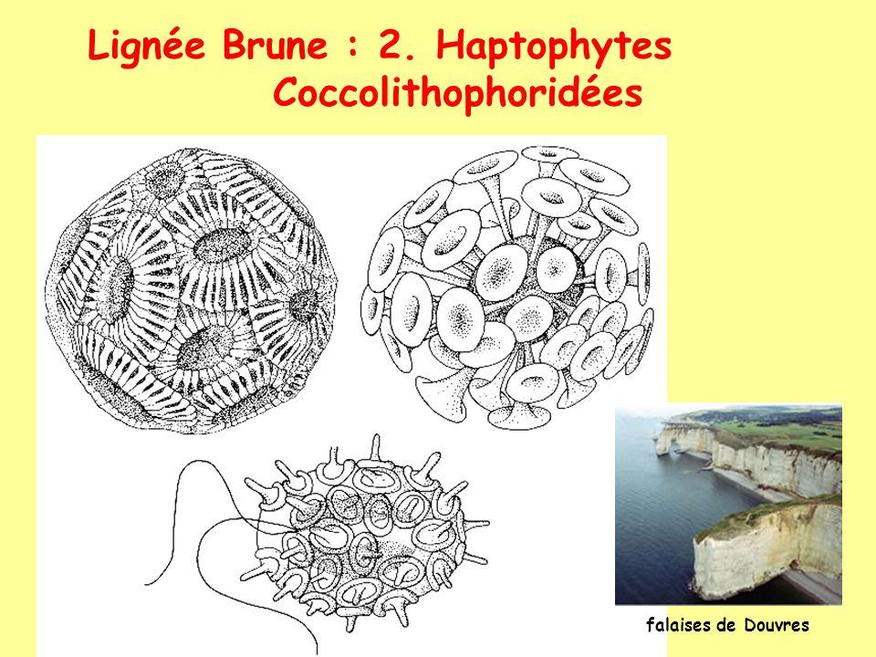 Lignée Brune : 2. Haptophytes Coccolithophoridées