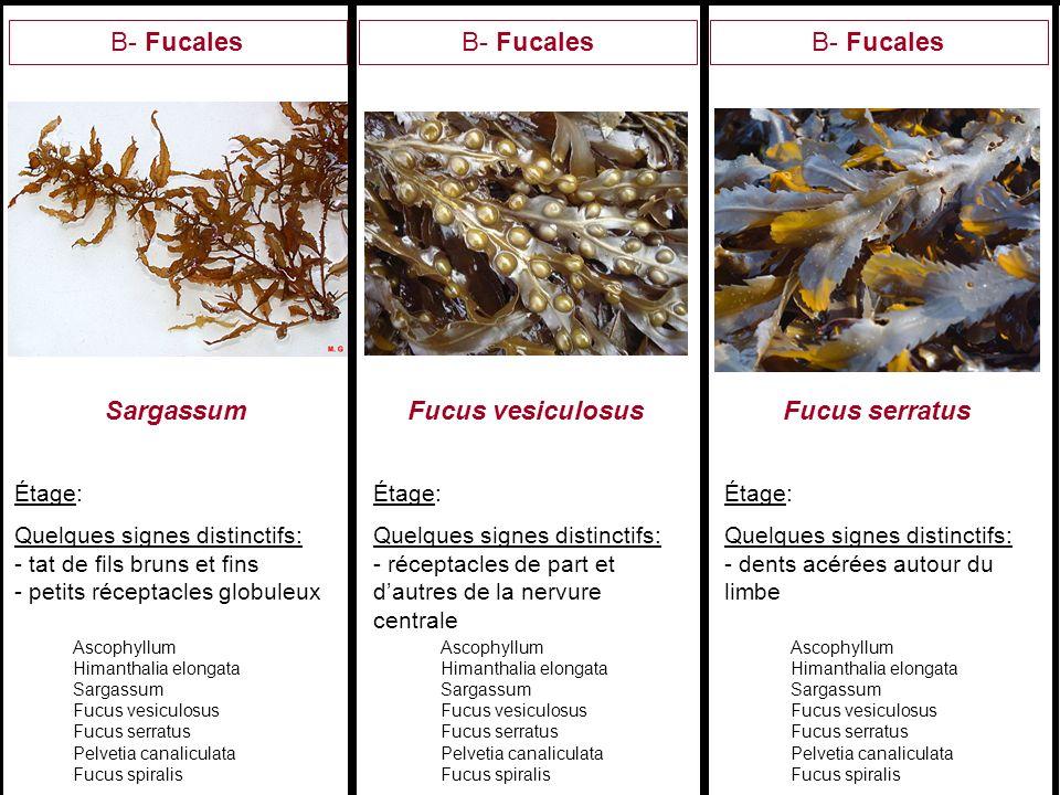 Sargassum Fucus vesiculosus Fucus serratus