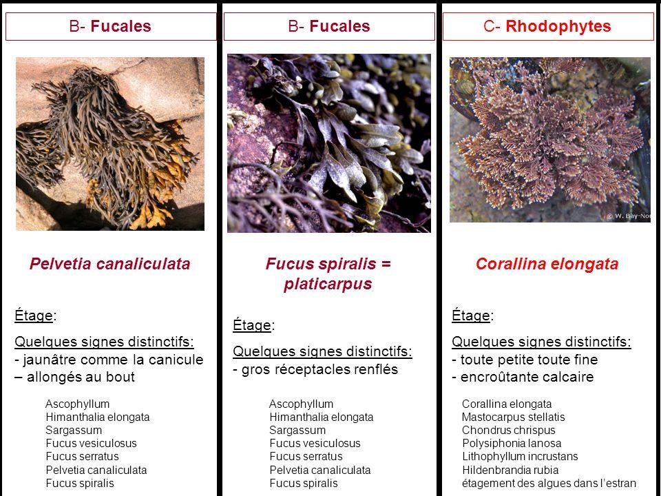 Pelvetia canaliculata Fucus spiralis = platicarpus