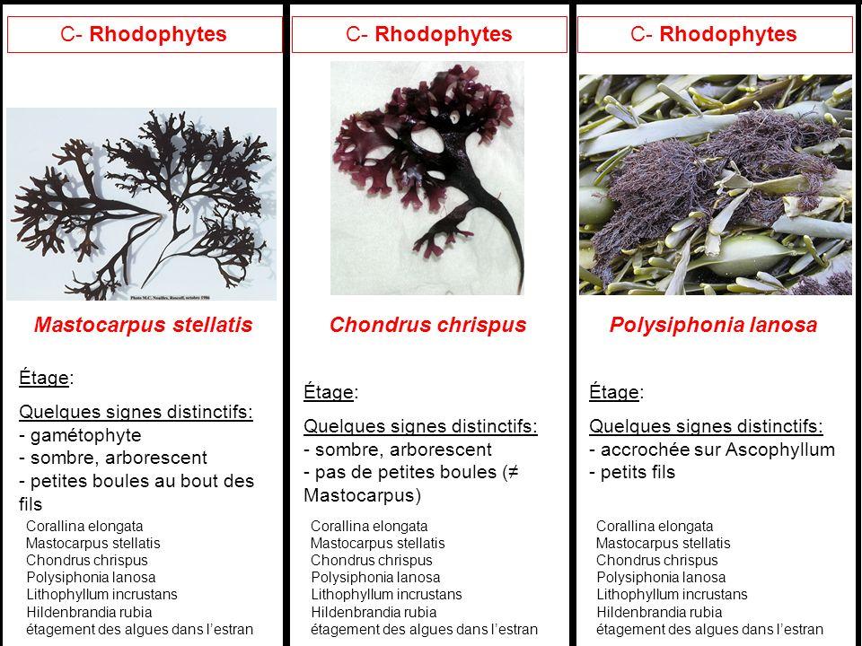 Mastocarpus stellatis