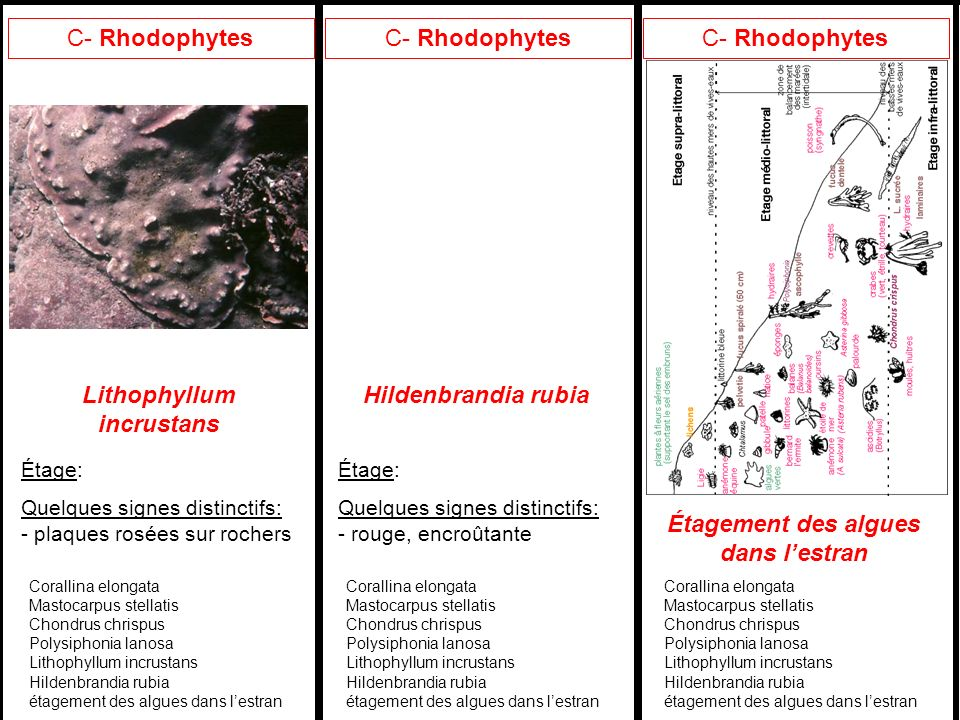 Lithophyllum incrustans Étagement des algues dans l'estran