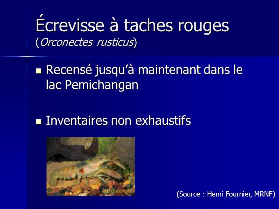 Écrevisse à taches rouges (Orconectes rusticus)