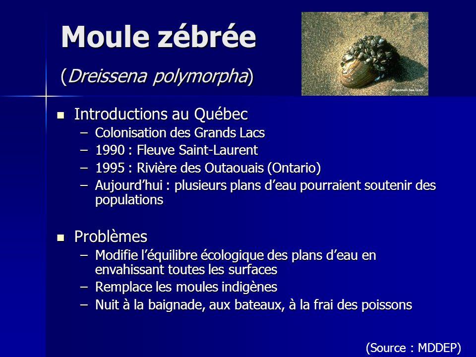 Moule zébrée (Dreissena polymorpha)
