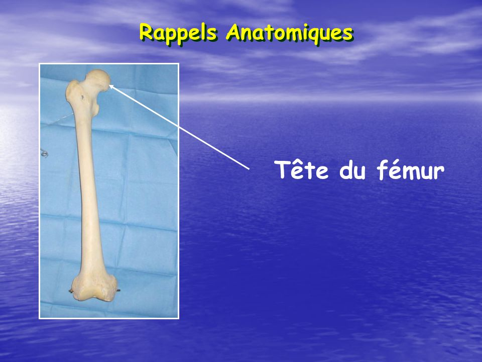 Rappels Anatomiques Tête du fémur