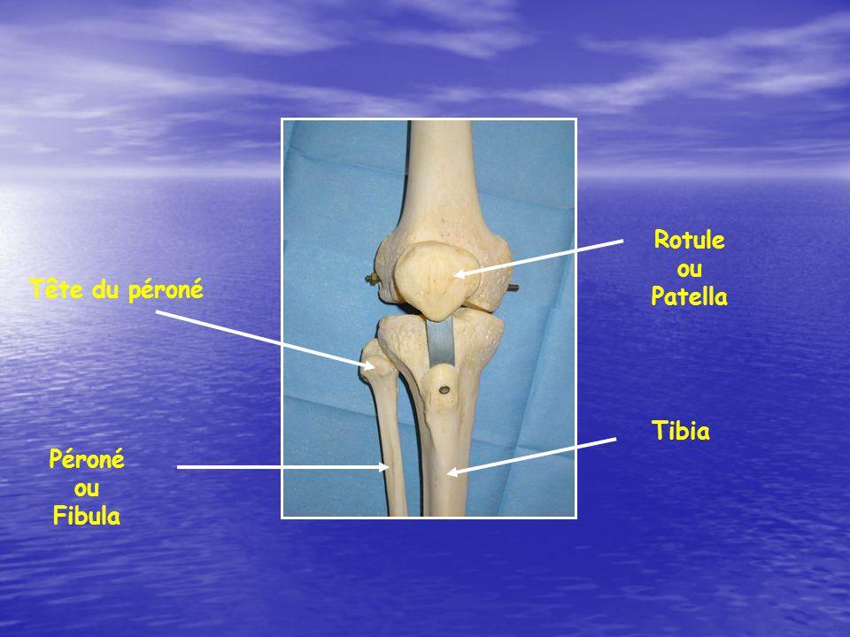 Rotule ou Patella Tête du péroné Tibia Péroné ou Fibula