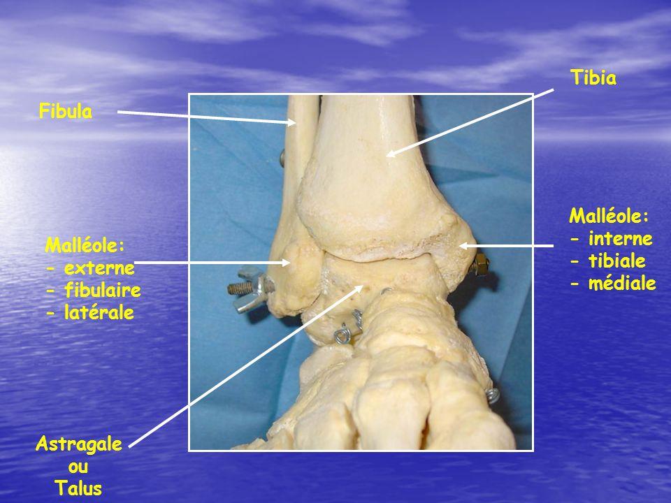 Tibia Fibula. Malléole: - interne. - tibiale - médiale. Malléole: - externe. - fibulaire - latérale.