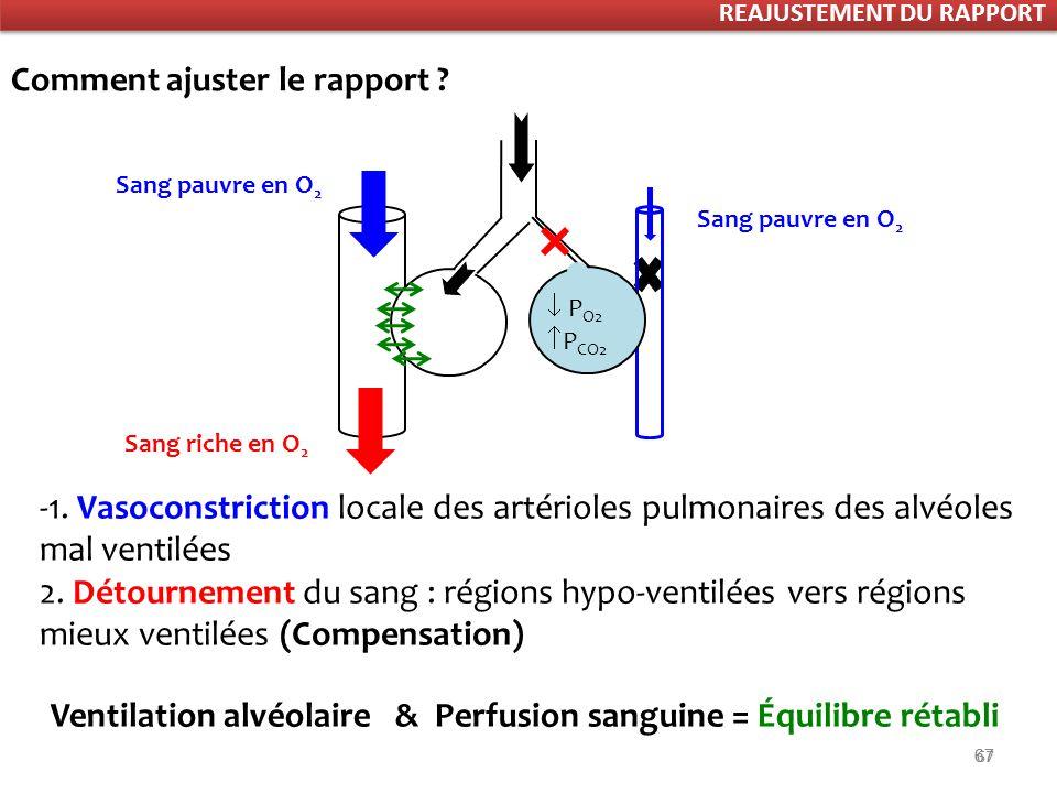 Ventilation alvéolaire & Perfusion sanguine = Équilibre rétabli