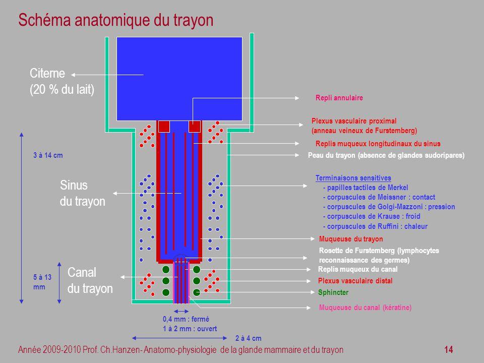 Schéma anatomique du trayon