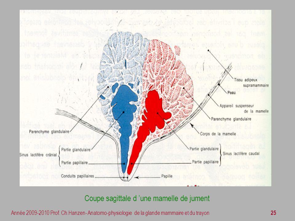 Coupe sagittale d 'une mamelle de jument