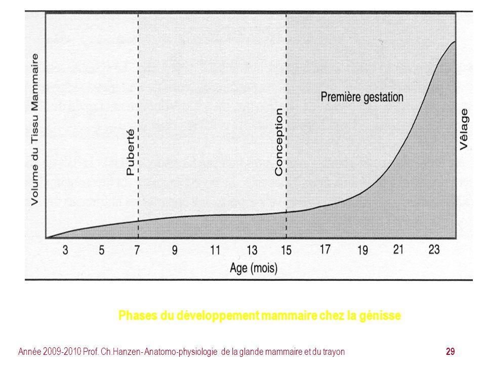 Phases du développement mammaire chez la génisse