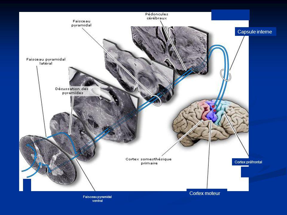 Faisceau pyramidal ventral