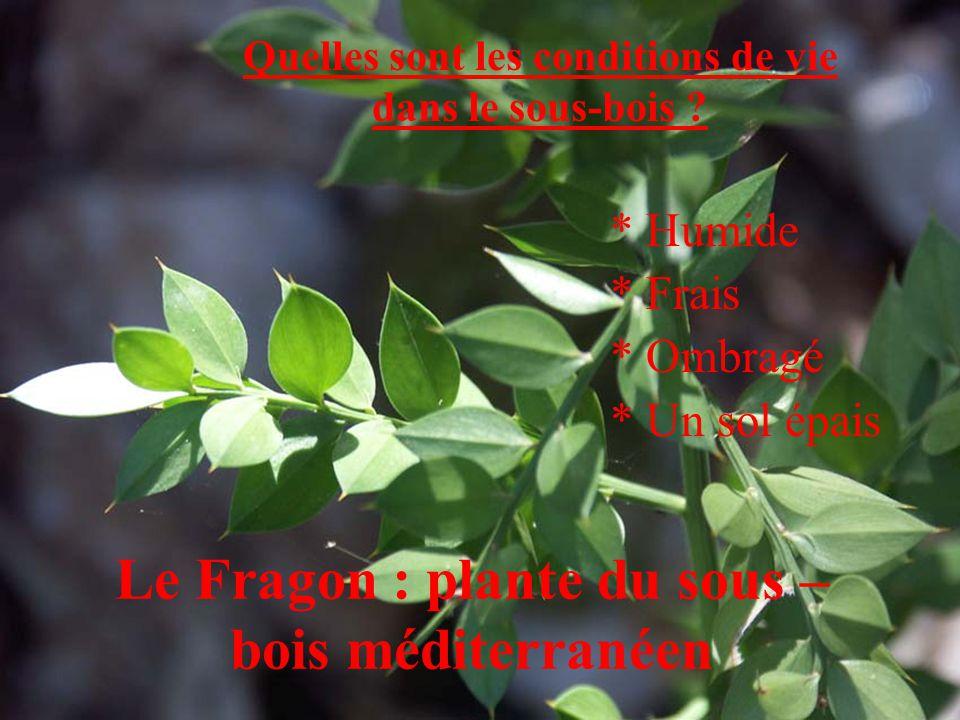 Le Fragon : plante du sous –bois méditerranéen