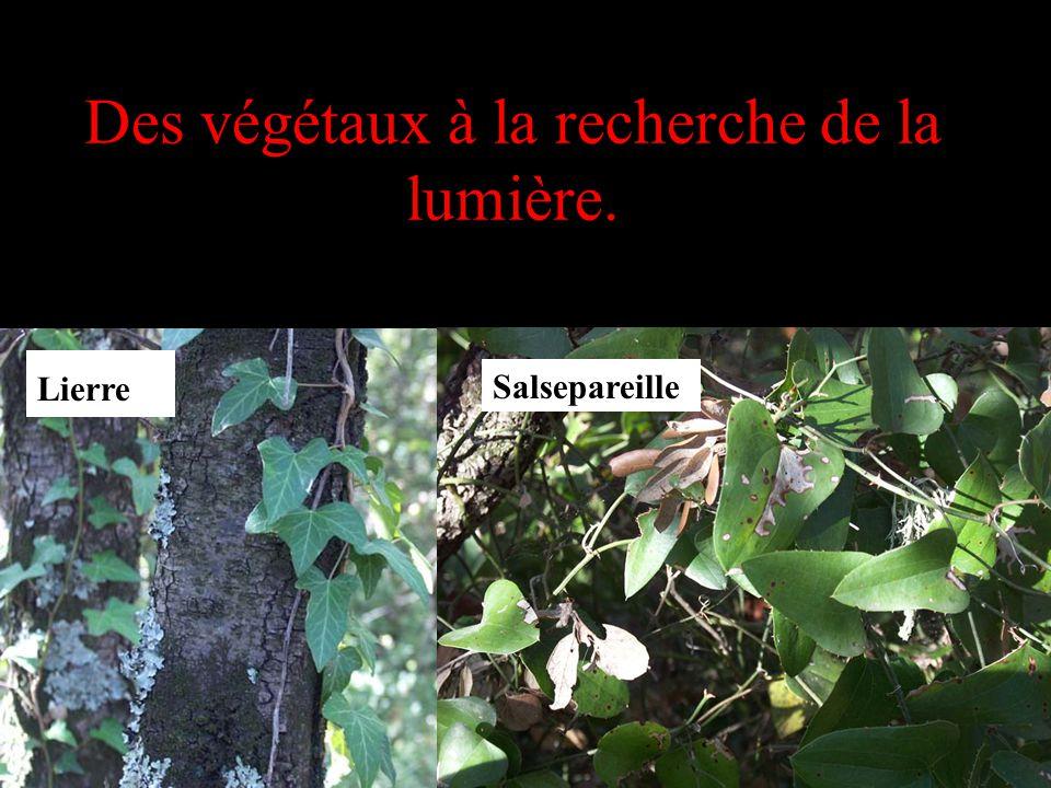 Des végétaux à la recherche de la lumière.