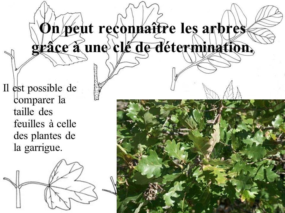 On peut reconnaître les arbres grâce à une clé de détermination.