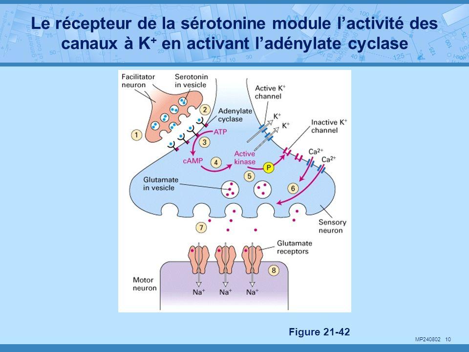 Le récepteur de la sérotonine module l'activité des canaux à K+ en activant l'adénylate cyclase