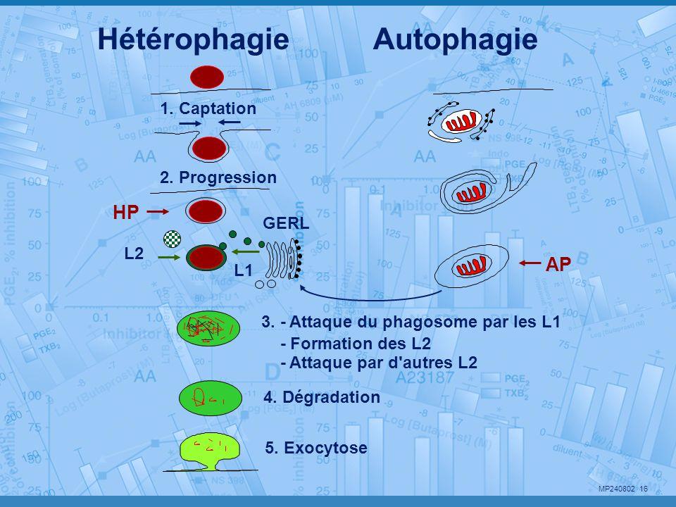 Hétérophagie Autophagie HP AP 1. Captation 2. Progression GERL L2 L1