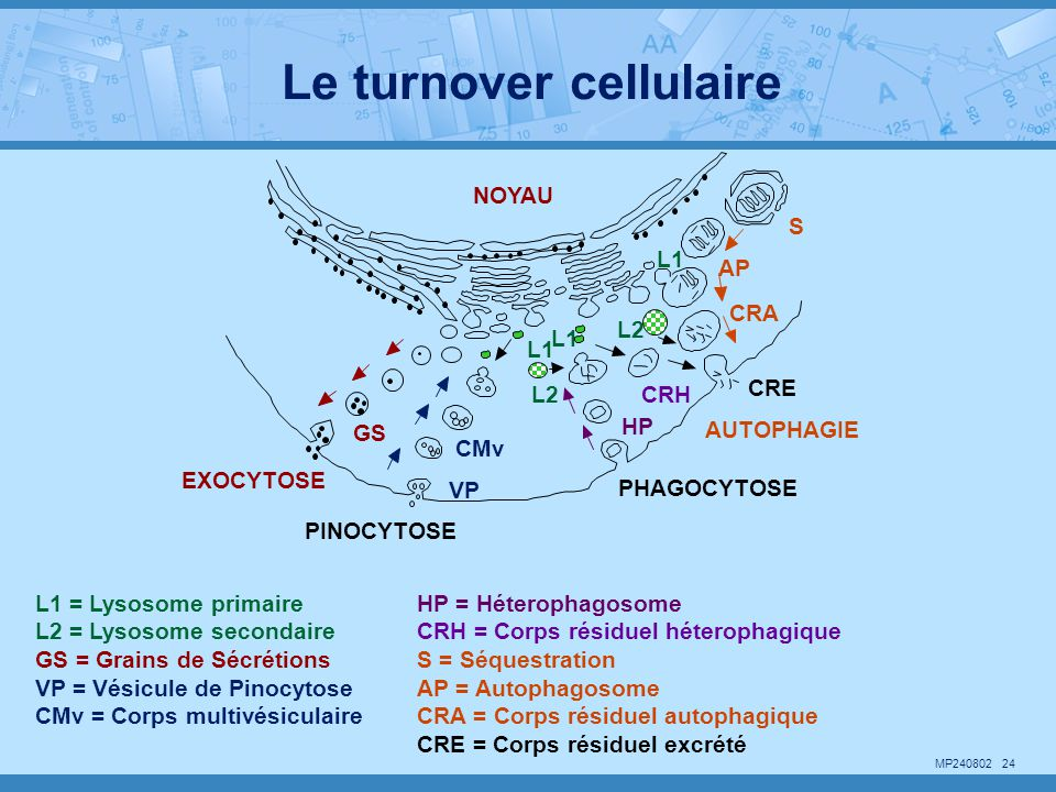 Le turnover cellulaire