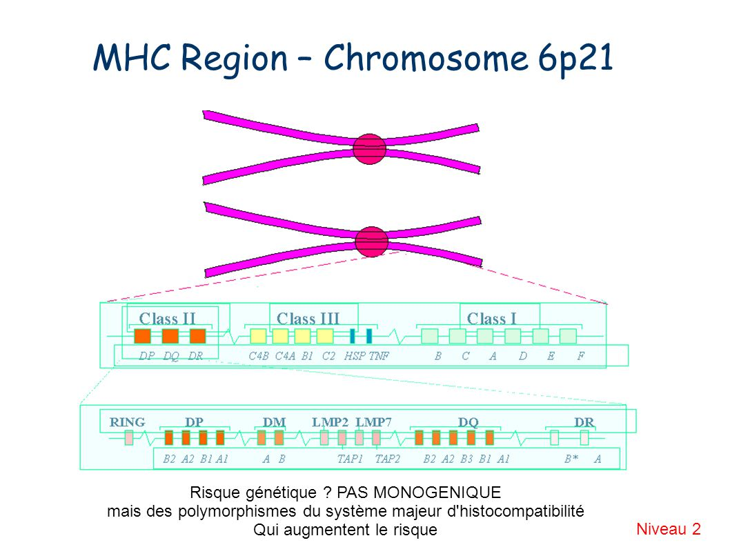 MHC Region – Chromosome 6p21