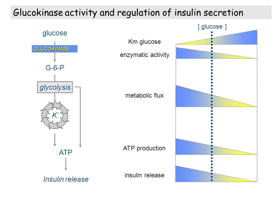 Glucokinase activity and regulation of insulin secretion
