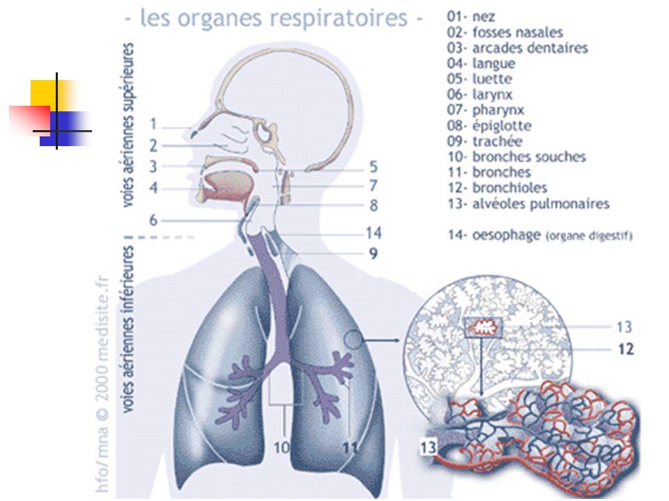 Rappels : Physiologie : Ventilation physiologique En pression négative