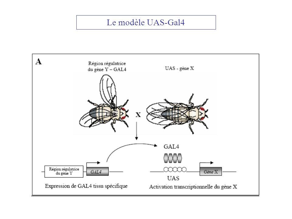 Le modèle UAS-Gal4