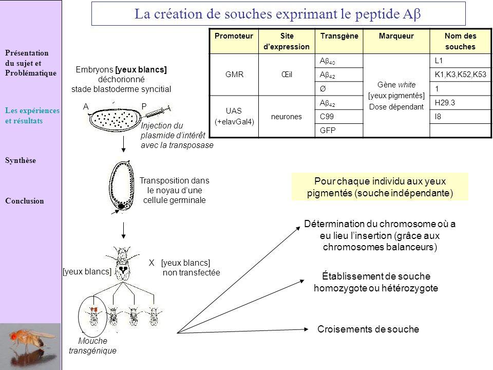 La création de souches exprimant le peptide Aβ