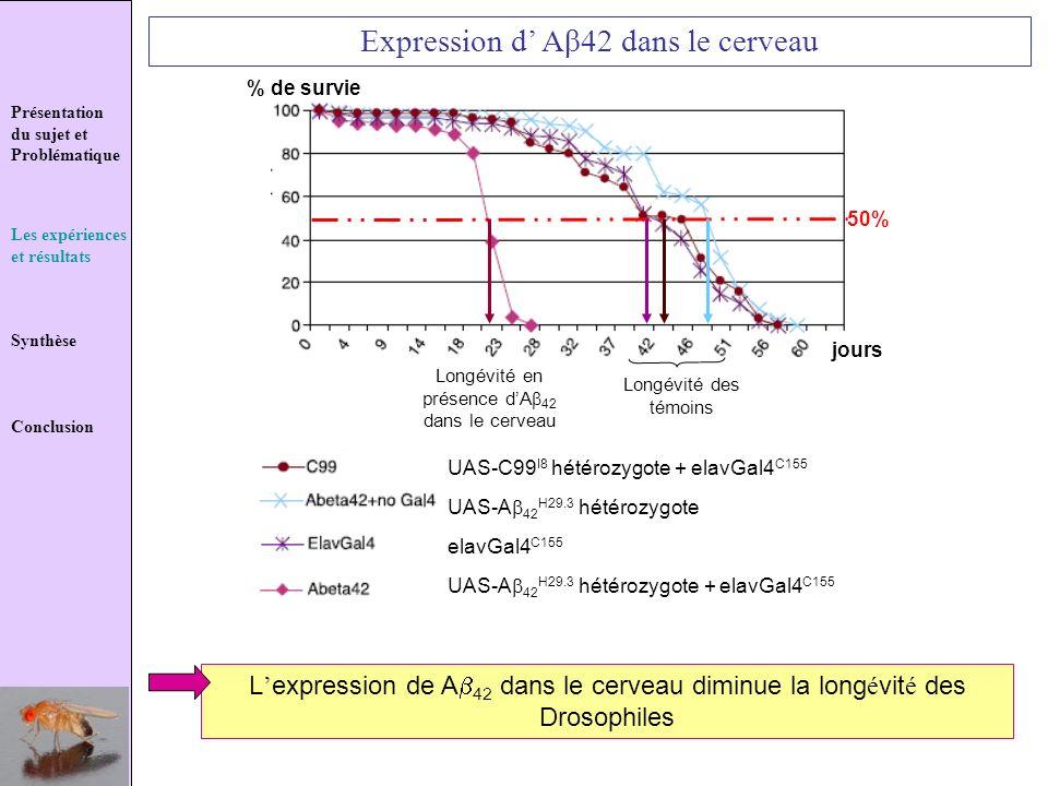 Expression d' Aβ42 dans le cerveau