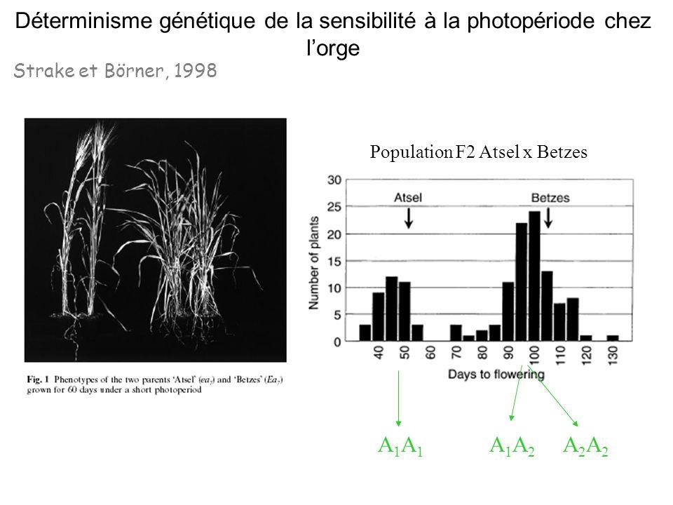 Déterminisme génétique de la sensibilité à la photopériode chez l'orge