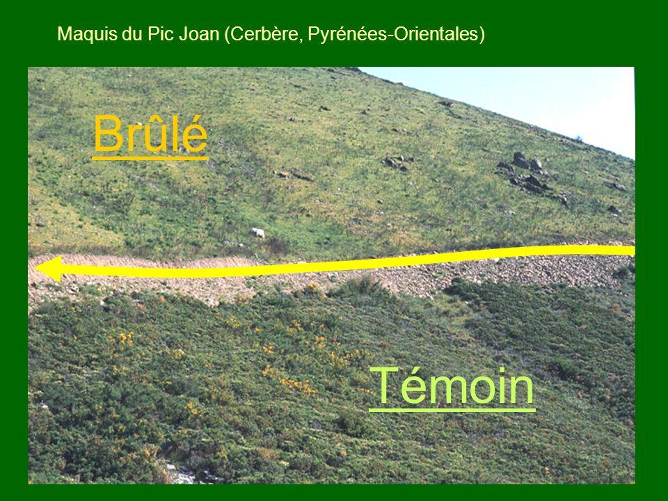 Maquis du Pic Joan (Cerbère, Pyrénées-Orientales)