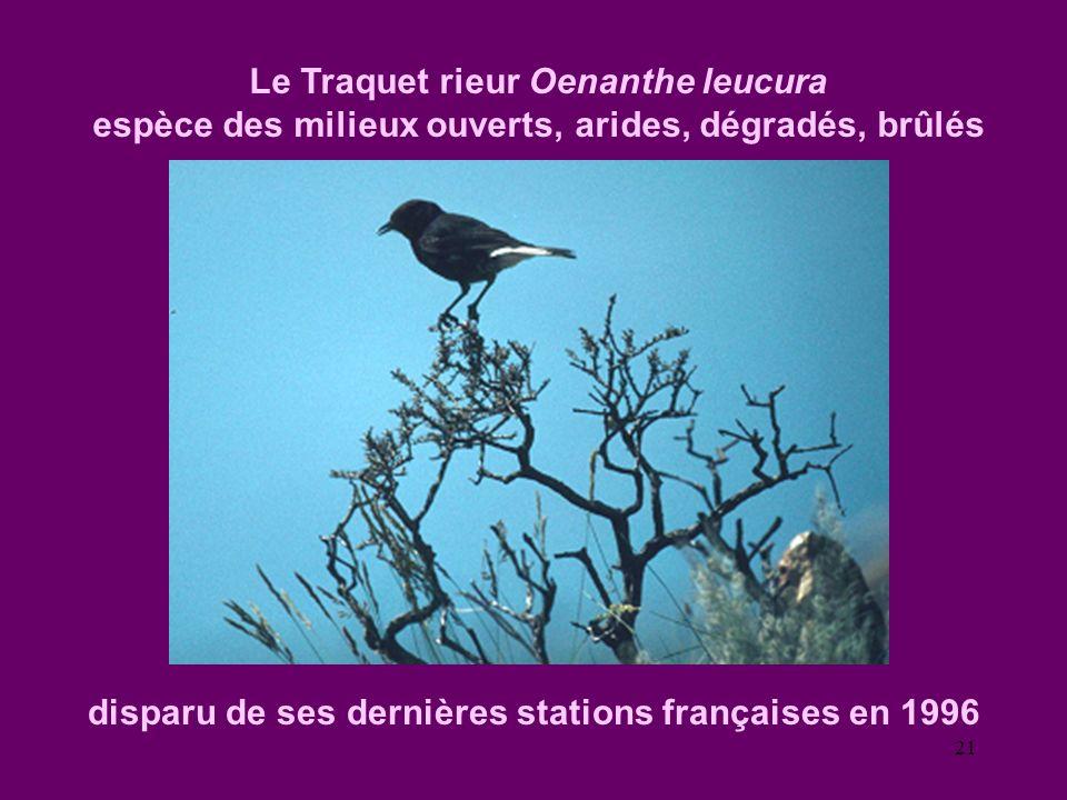 Le Traquet rieur Oenanthe leucura