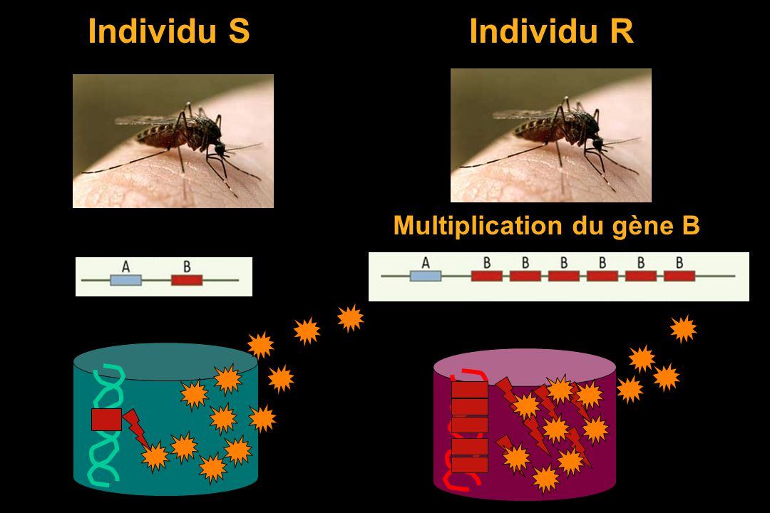 Individu S Individu R Multiplication du gène B