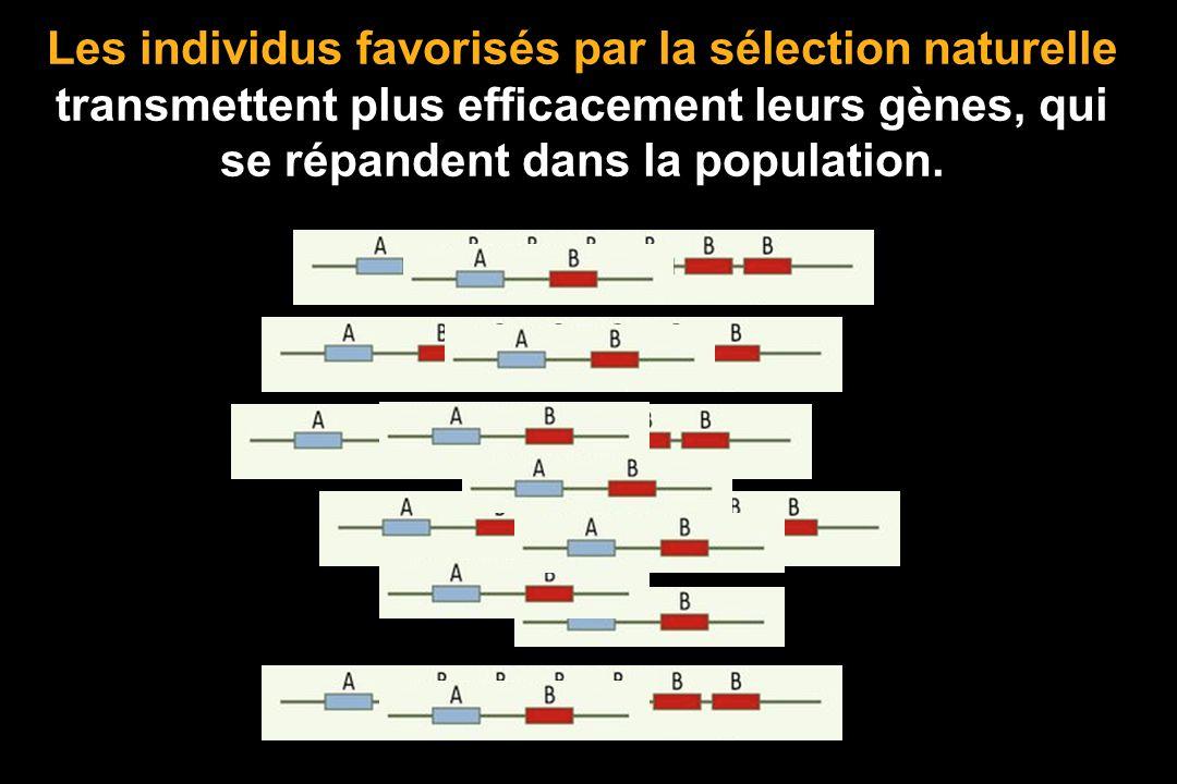 Les individus favorisés par la sélection naturelle transmettent plus efficacement leurs gènes, qui se répandent dans la population.