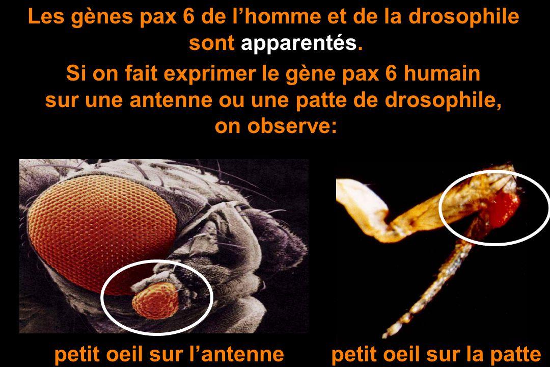 Les gènes pax 6 de l'homme et de la drosophile sont apparentés.